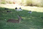 MALE_DUIKER_AND_DUCKS_AT_NO_16
